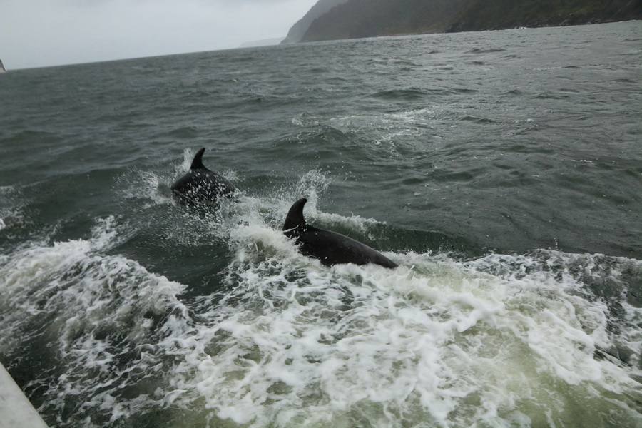 Milford Sound dolphins