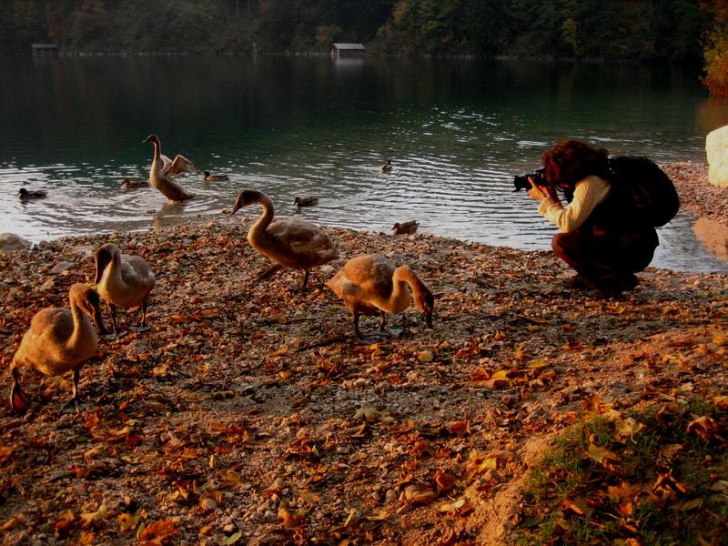 гуси-лебеди на Альпзее